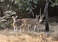 Chital in Gir Forest National Park.jpg