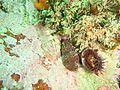 Chiton and whelk at Lorry Bay PB011886.JPG