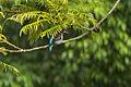 Chocolate-backed Kingfisher - Ghana S4E1420 (16316160431).jpg