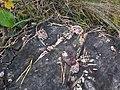 Chondrostereum purpureum 101578646.jpg