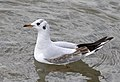 Chroicocephalus ridibundus - Black-headed Gull 14.jpg
