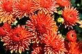 Chrysanthemum Camina 3zz.jpg