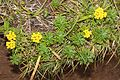 Chrysanthemum rupestre (Mount Hijiri).jpg