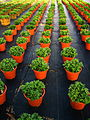 Chrysanthemums in a plant nursery 3.jpg