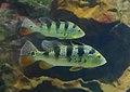 Cichla ocellaris.jpg