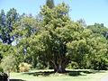 Cinnamomum camphora - Botanic Gardens.jpg