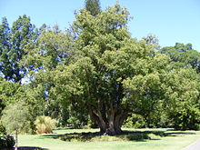 Camphora in the public botanic gardens in adelaide south australia
