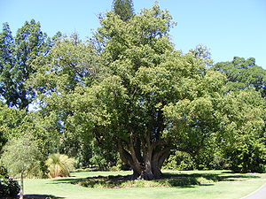 Cinnamomum camphora - C. camphora in the public Botanic Gardens in Adelaide, South Australia