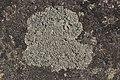 Circinaria contorta (28635506548).jpg