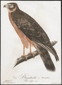 Circus aeruginosus - 1800-1812 - Print - Iconographia Zoologica - Special Collections University of Amsterdam - UBA01 IZ18300185.tif