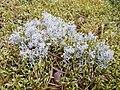 Cladonia arbuscula 90126949.jpg