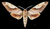 Clanis titan MHNT CUT 2010 0 240 India Kanara - male dorsal.jpg