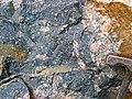 Clast-rich impact pseudotachylite (Sudbury Breccia, Paleoproterozoic, 1.85 Ga; Windy Lake Northwest roadcut, Sudbury Impact Structure, Ontario, Canada) 37 (47739962971).jpg