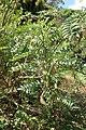 Clianthus maximus kz02.jpg