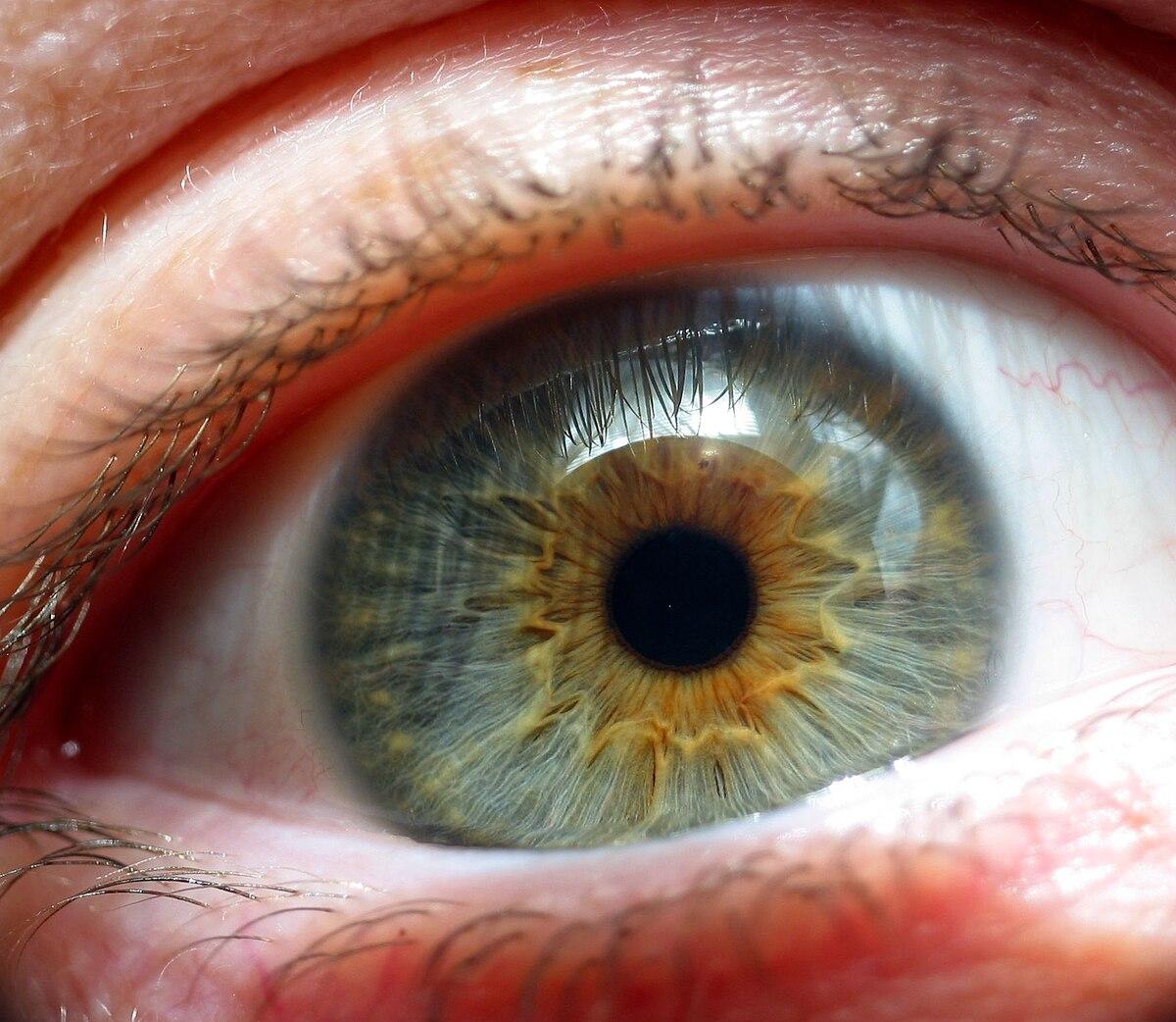 Lidske Oko Wikipedie