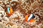 Clownfish, Great Barrier Reef, Cairns, Australia.jpg
