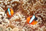 Clownfish, Great Barrier Reef, Cairns, Australia