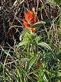 Coast paintbrush (Castilleja affinis).jpg