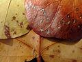 Coccoloba uvifera (leaves).jpg