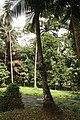 Cocos Nucifera 06.jpg