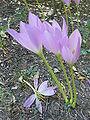 """Colchicum """"Dandaels"""" (Colchicaceae) (plant).JPG"""