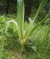 Colchicum autumnale im NSG Gambachtal.jpg