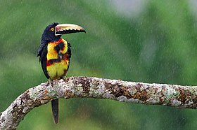 Collared Aracari in the rain.jpg