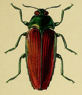 <i>Colobogaster</i> genus of insects