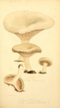 Coloured Figures of English Fungi or Mushrooms - t. 103.png