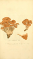 Coloured Figures of English Fungi or Mushrooms - t. 168.png