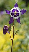 Columbine Aquilegia 'Blue Butterflies' Flower Stalk 1681px.jpg