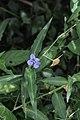 Commelina eckloniana (Commelinaceae) (4756629769).jpg