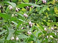 Common Comfrey (2560599891).jpg
