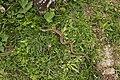 Common European Adder - Vipera berus (44154381622).jpg