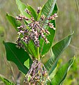 Common Milkweed (Ascelpias verticillata) - Flickr - wackybadger (3).jpg
