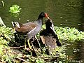 Common Moorhen I IMG 2489.jpg