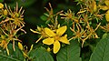 Common St. John's-Wort (Hypericum perforatum) - Kitchener, Ontario.jpg