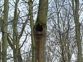 Common oak (Quercus robur) with a hole.jpg