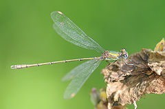 ComputerHotline - Chalcolestes viridis (by).jpg