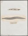 Conger vulgaris - 1700-1880 - Print - Iconographia Zoologica - Special Collections University of Amsterdam - UBA01 IZ15300202.tif