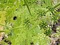 Conium maculatum fruit (01).jpg