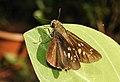 Conjoined Swift Pelopidas conjuncta UP by Dr. Raju Kasambe DSCN4060 (5).jpg