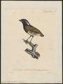 Conopophaga aurita - 1825-1834 - Print - Iconographia Zoologica - Special Collections University of Amsterdam - UBA01 IZ16400343.tif