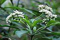 Conservatoire botanique national de Brest-Tournefortia bojeri-15 07 03-Philweb5 (19382569355).jpg