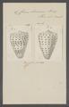 Conus eburneus - - Print - Iconographia Zoologica - Special Collections University of Amsterdam - UBAINV0274 086 02 0019.tif