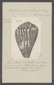 Conus sumatrensis - - Print - Iconographia Zoologica - Special Collections University of Amsterdam - UBAINV0274 086 08 0002.tif