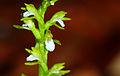 Corallorhiza trifida - flowers.jpg
