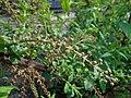 Coriaria nepalensis 2017-05-23 1111.jpg