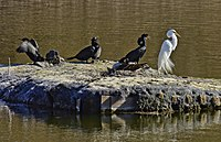 Cormorants CanGoose GrEgret Topham Pond Toronto.jpg