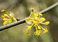 Cornel Flower (8606248046).jpg